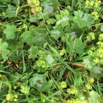 The medicinal Ladies Mantle, Alchemilla vulgaris
