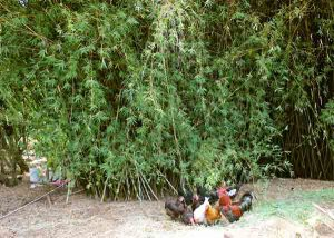 Golden-goddess hedge bamboo provides multiple benefits for the chook yard