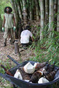 Harvesting D. asper shoots for eating