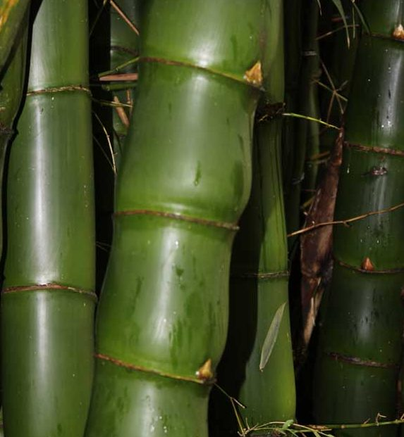 "The swollen inter nodes of the giant ""Buddhas Belly"" bamboo"