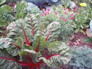 Winter vegetables companion planted with flowering medicinalherbs
