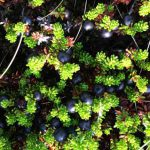 Crowberries are so tiny on stunted little plants that hide in the moss