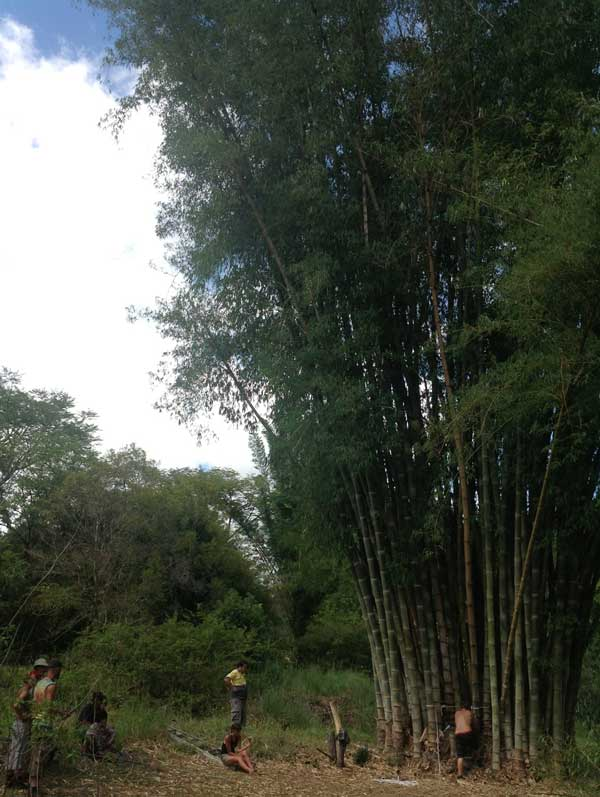 Harvesting the massive culms of D. asper, the Giant Rough Bamboo