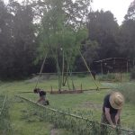 Removing branches and tops off the treated bamboo culms