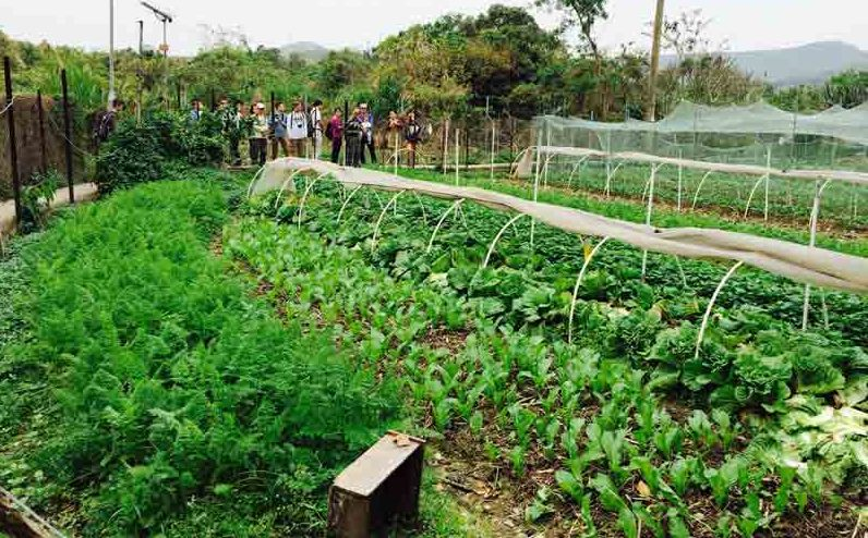 Traditional Mapopo vegetable farms are adopting organic techniques