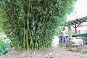 Small hedge bamboo clumps can grow to 3-4m wide