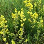 Ladies Bedstraw, great dye plant, also used as vegetable rennet