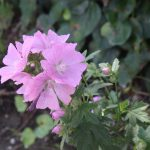 Marsh Mallow flowers and leaves are valued healing herbs