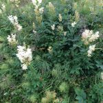 Meadowsweet - natures own 'asprin'