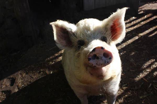 Adorable Polly the pig
