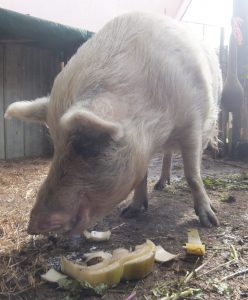Polly eating the Banana Slices from the Banana Harvest 2
