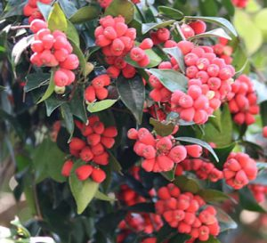 Riberry fruiting