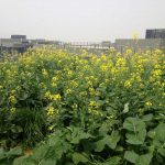 Flowering leafy mustard greens attract beneficial insects and bees, even on rooftops.