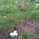 Yarrow and an unusual form of Plantain with very slender leaves