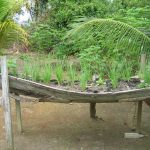 An old canoe makes a raised garden bed - just above the wet season high-water level
