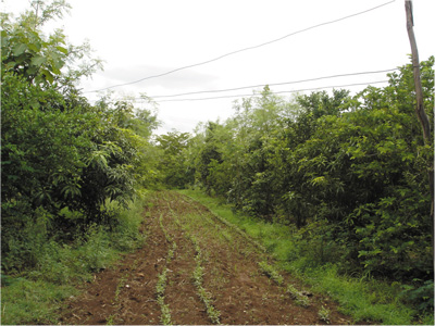 Traditional grain crops planted between food, fuel and fodder forestry in central India