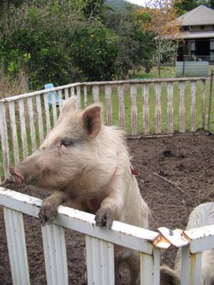 mobhm-piggy-begging
