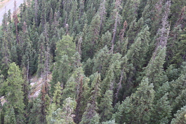 A far too common sight in the Cascade Mountains, lots of dead and dying trees in the forest.